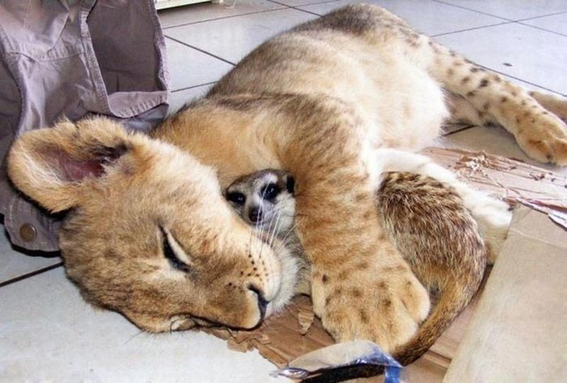 20 фотографий обнимашек, от которых становится теплее на душе животные, обнимашки, позитив, фото