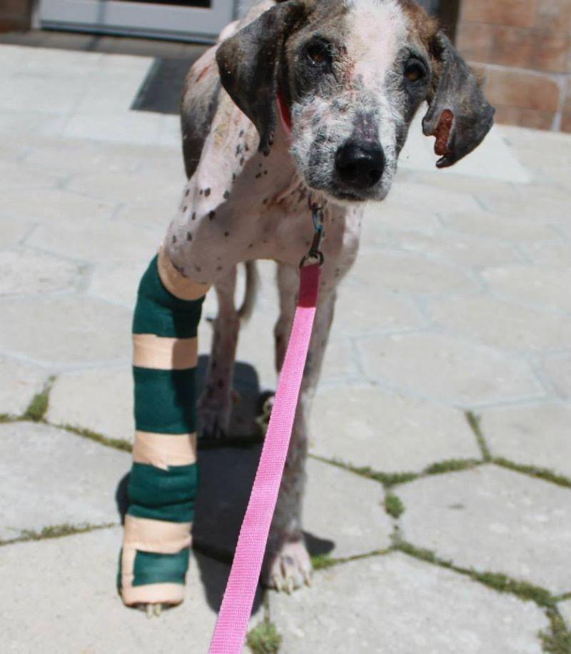 Вторая жизнь полуживой бродячей собаки по кличке Кхалиси животные, собака, спасение
