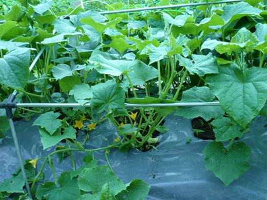 Выращиваем огурцы на пленке и никакой прополки