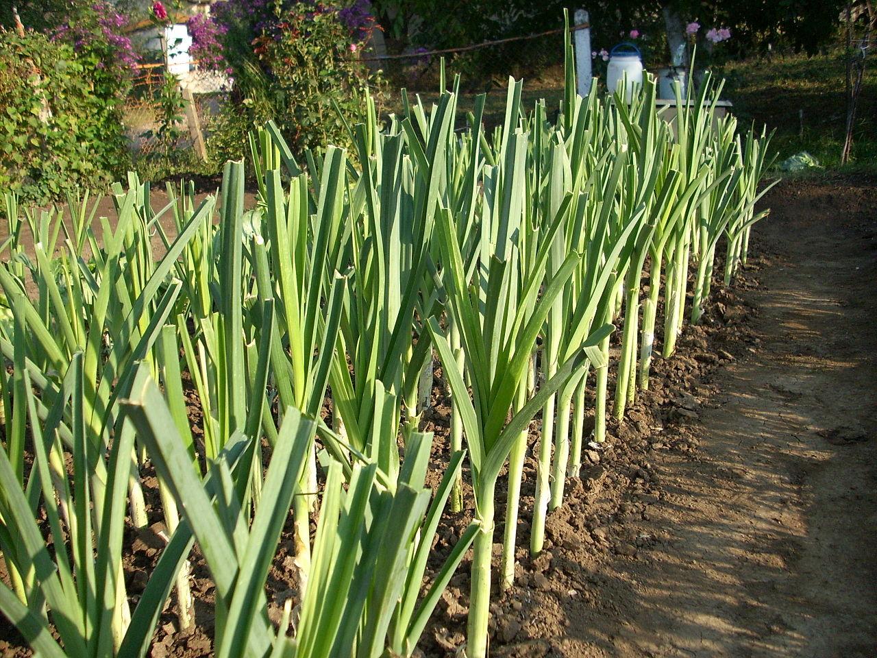 Выращиваем лук-порей через рассаду