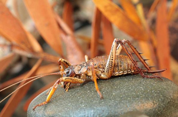 В Новой Зеландии спасают самое большое насекомое в мире