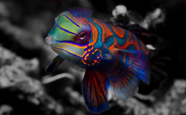 Детям о животных. Рыбка мандаринка