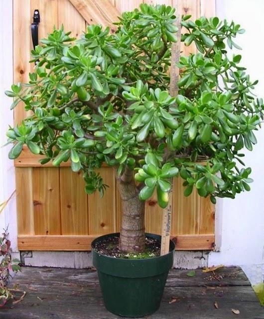 Денежное дерево от разных болезней
