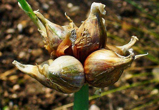 Уникальный многоярусный лук: секреты выращивания