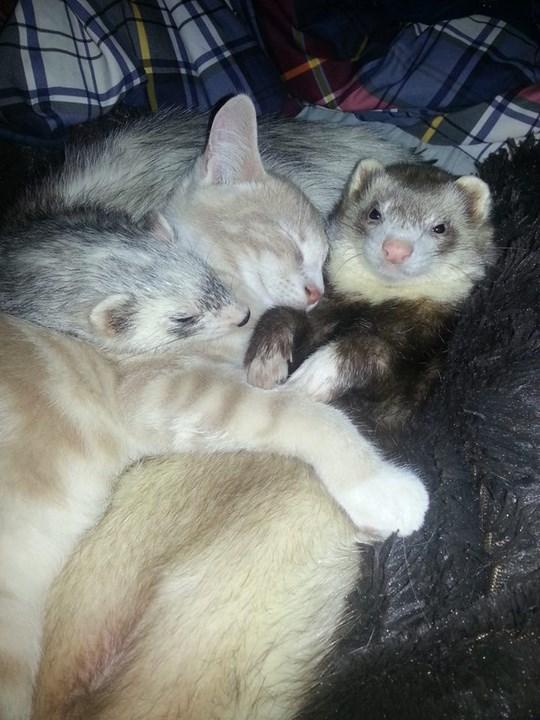 Дружба котенка и хорьков котенок, хорек