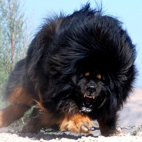 """Это - тот самый """"лев"""" Тибета. В гневе он так страшен, что знаменитая собака Баскервилей против него – щенок!"""