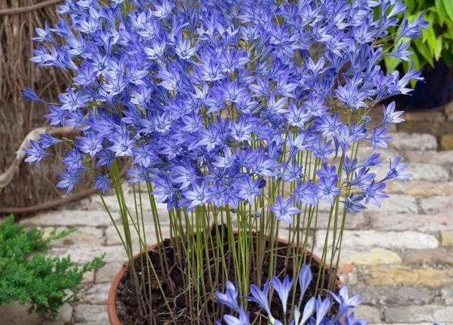 Комнатная бродиэя — роскошные синие акценты в интерьере