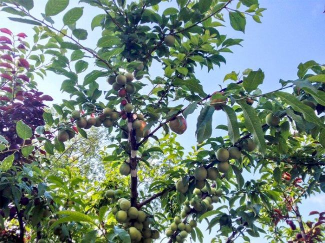Дерево на котором растут 40 разных сортов фруктов