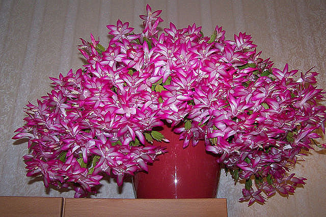 Декабрист в Вашем доме: особенности ухода и секреты цветения