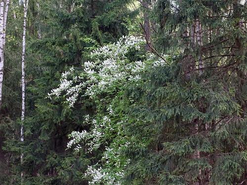 И ещё раз цветёт черёмуха