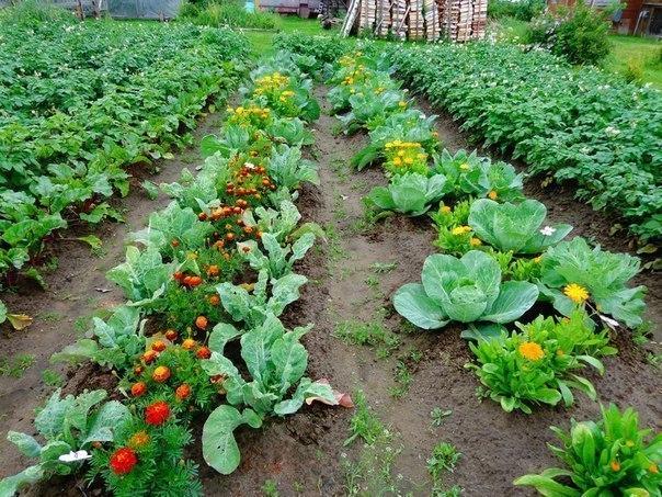 Овощи, которые стоит посадить рядом друг с другом