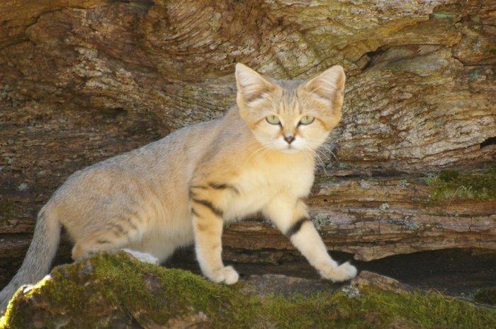 Великолепные коты и кошки, о которых вы не слышали