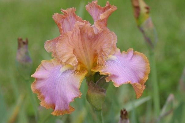 Ремонтантные ирисы: личный опыт цветовода