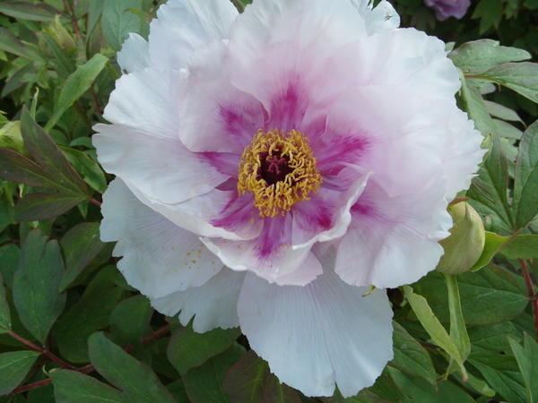 Цветет древовидный пион, удачно перезимовавший в Крыму