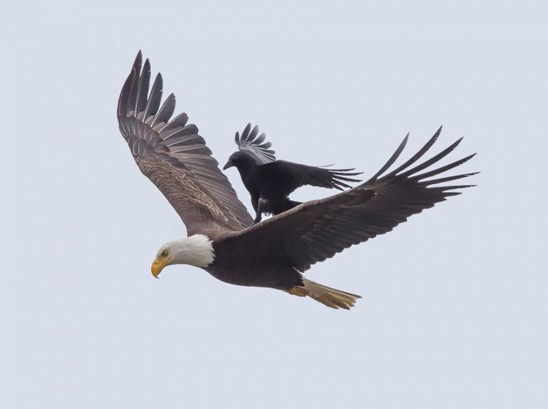 Пернатая джигитовка: ворон оседлал белоголового орлана
