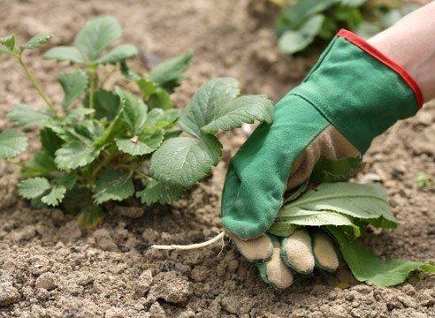 Клубника: уход после сбора урожая