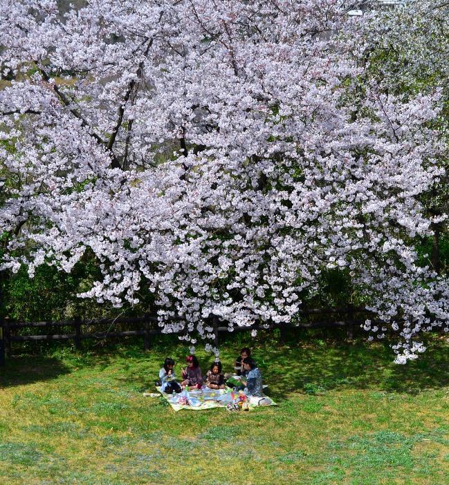 Дети под деревом цветущей сакуры. Фото