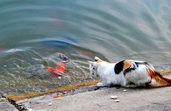 Как кот поймал золотую рыбку золотая рыбка, кот