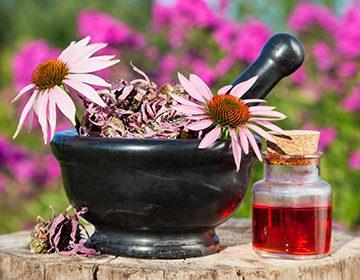 Эхинацея пурпурная: свойства, действие на организм, применение