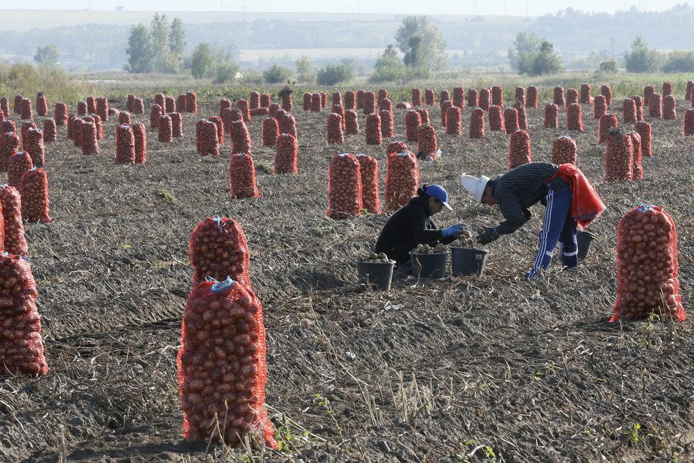 Кооператоры планируют начать покупать картофель у населения