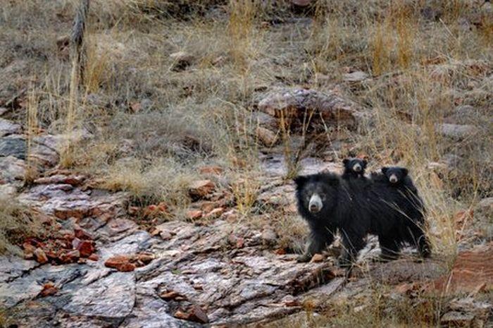 Кто победит в драке: медведица, защищающая своих детей или тигр? Этот фото-ответ заставил меня понервничать за медвежат!