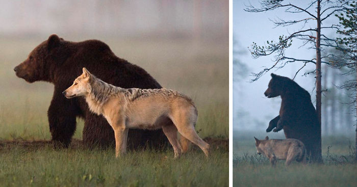 Суровая дружба бурого медведя и волчицы, в которую сложно поверить