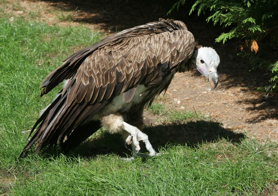 16. Стервятник (Vulture) животные, факты