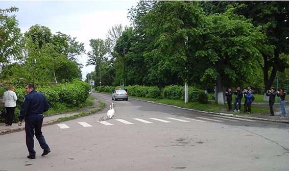 В Винницкой области семью лебедей сопровождал через весь город патруль ГАИ
