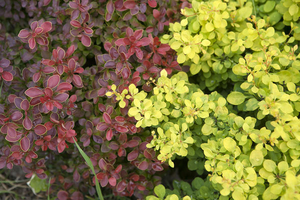 Барбарис Тунберга (Berberis thunbergii), сорта Admiration and Tiny Gold