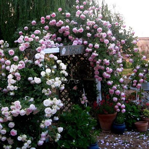 4497432_rosesingardeninspiration15 (500x500, 127Kb)