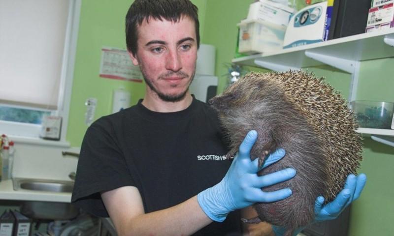 Ветеринары Шотландии спасают раздувшегося, как шар ежа