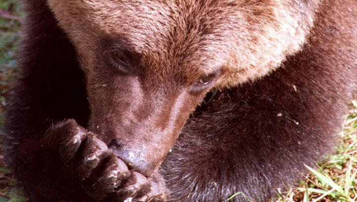 Уссурийск атакуют голодные медведи