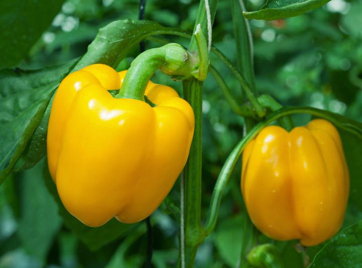 Ошибки при выращивании перца