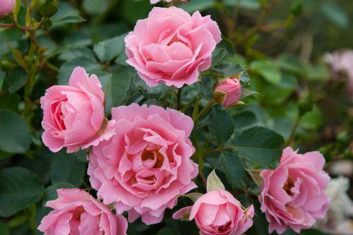 Очаровательная и выносливая роза Sommerwind