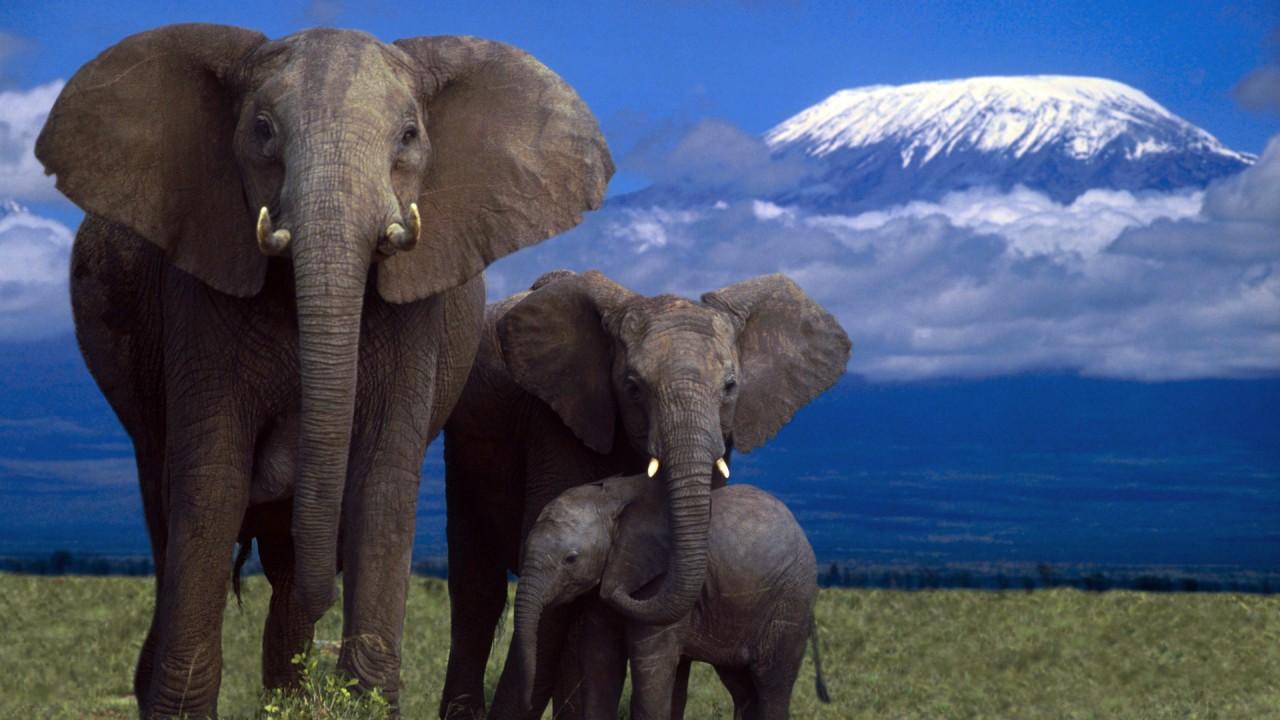 Почему слоны никогда не могут потеряться