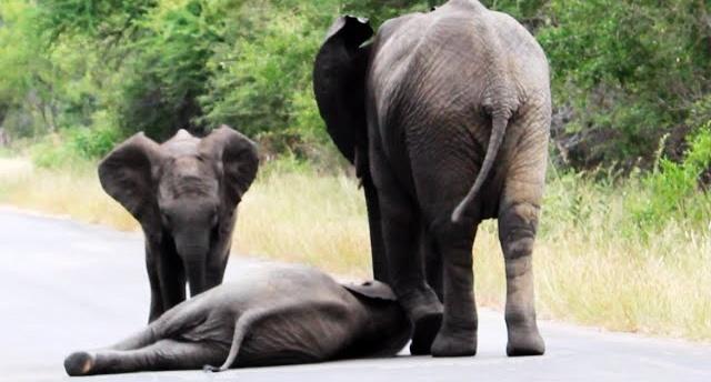 Слоненок упал посреди дороги…