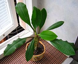 Молочай беложилковый (Euphorbia leuconeura)