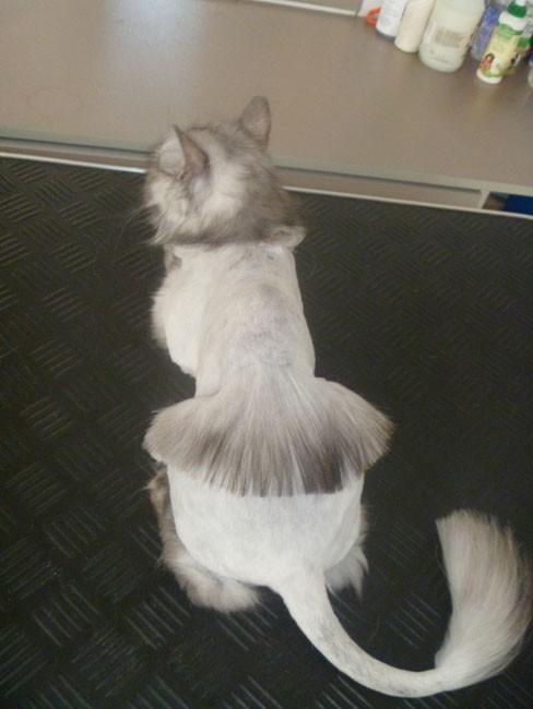 Кошачьи стрижки или когда твой хозяин - парикмахер кошки, мода, прикол, стрижки