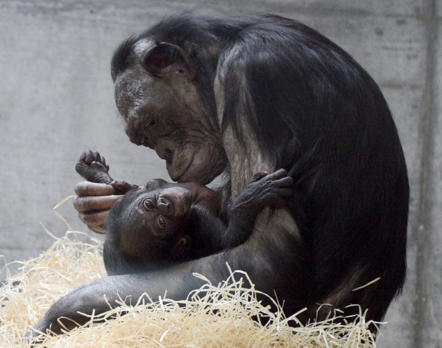 Bonobo Libosо