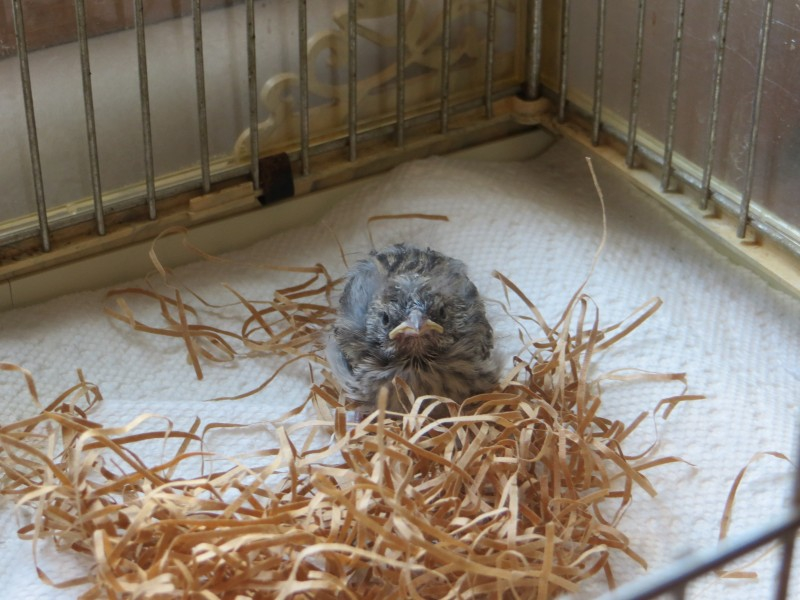 Птенец выпал из гнезда  гнездо, птенец, спасение