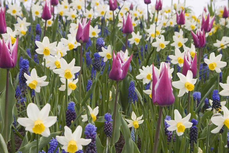 Луковичные цветы: покупка и хранение и посадка - личный опыт