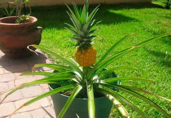 Декоративный ананас добавит любому интерьеру красоты и экзотики