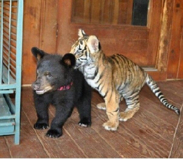 Просто лев, медведь и тигр, которые выросли вместе
