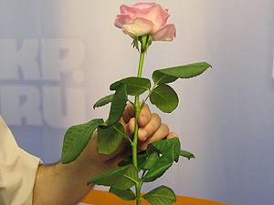Выбирайте для черенкования здоровое растение. Смотрите фото-урок «Черенкование роз»