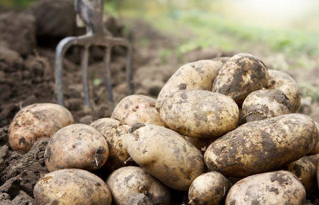 Уродливые клубни картофеля: в чем причина?