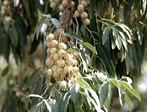 Лох узколистный: ягодки со вкусом корицы и… пшеничной муки