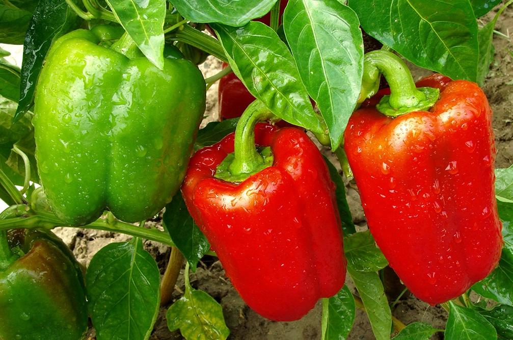 Почему перец в теплице получается не такой вкусный, сочный и красивый, как в магазине?