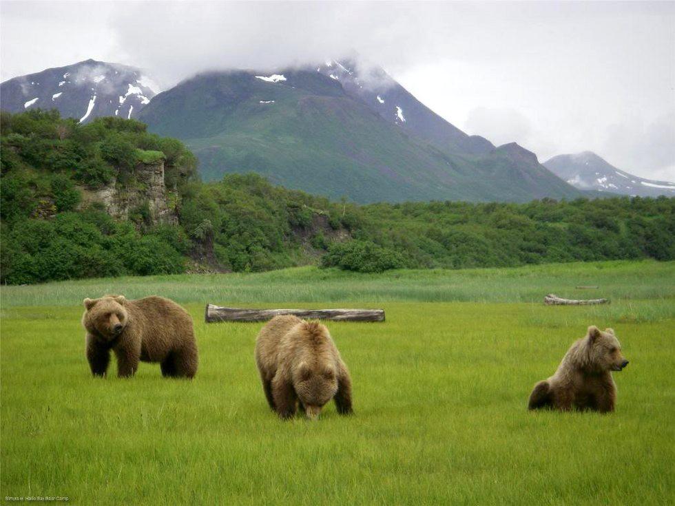 «Медвежий лагерь» на Аляске  аляска, медведь