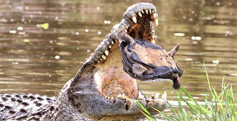 Черепаха спаслась из пасти огромного крокодила, проявив чудеса ловкости