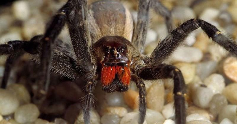 Пять самых опасных пауков на планете, которых нужно избегать их всеми силами